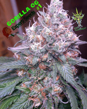 Load image into Gallery viewer, Gorilla SFV OG - Feminised Seeds