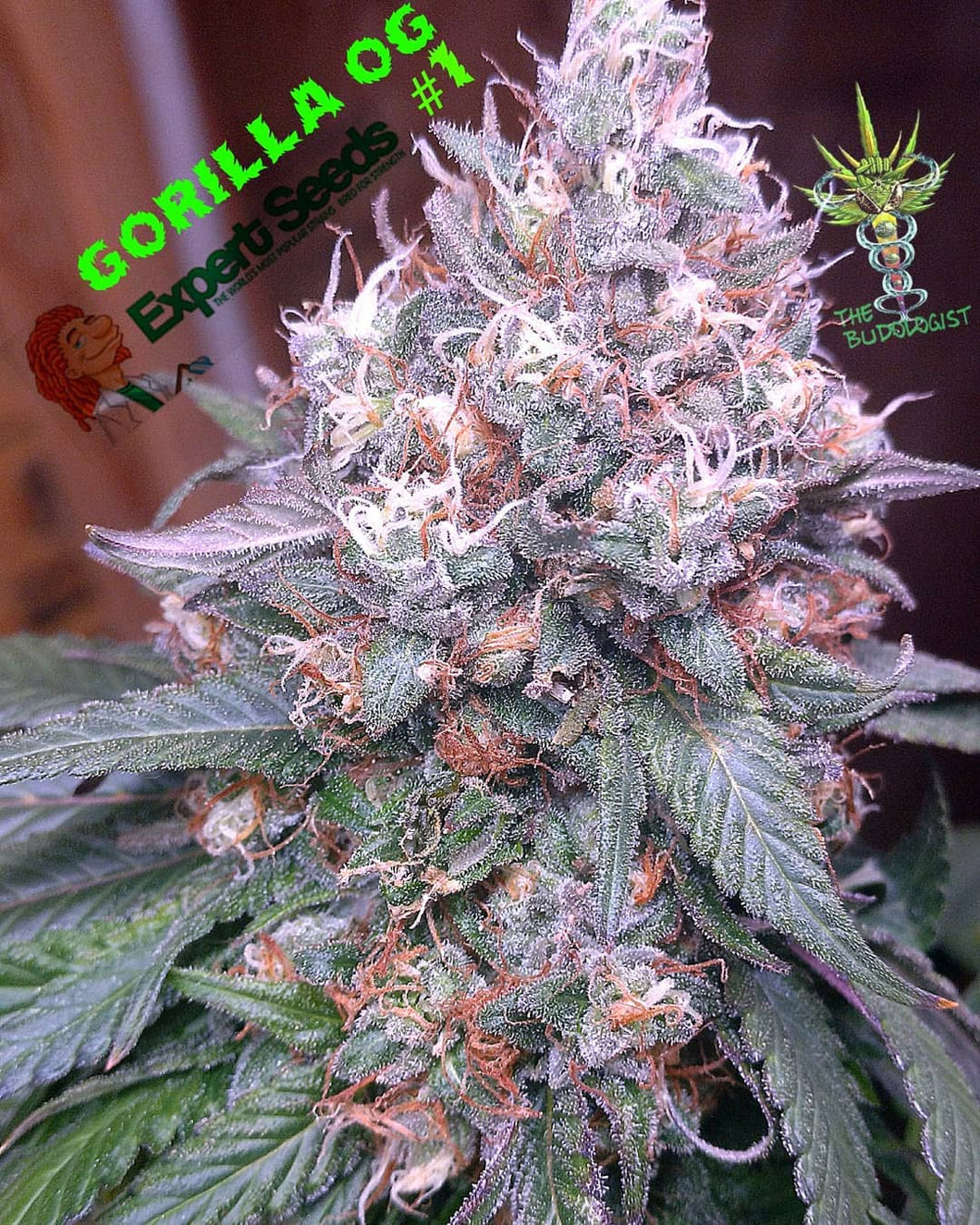 Gorilla SFV OG - Feminised Seeds