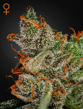 Load image into Gallery viewer, King's Kush - Feminsied Seeds