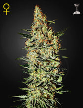 Load image into Gallery viewer, Neville's Haze - Feminised Seeds