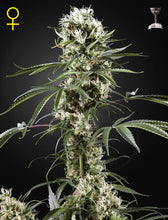Load image into Gallery viewer, Super Lemon Haze - Feminised