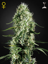 Load image into Gallery viewer, Super Silver Haze - Feminsied Seeds
