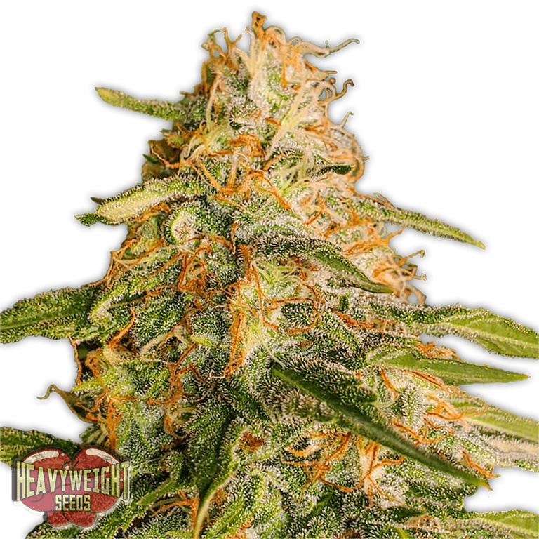 Tropic Punch - Heavyweight Seeds - Feminised