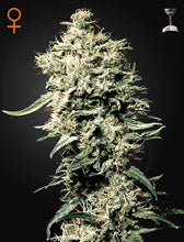 Load image into Gallery viewer, White Rhino - Feminsied Seeds