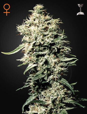 White Rhino - Feminsied Seeds