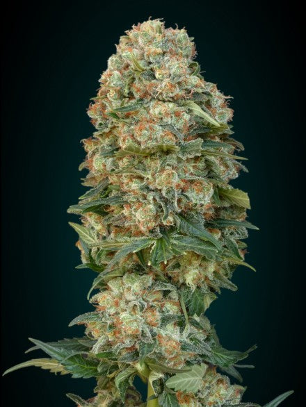 Female Mix - Feminised Seeds