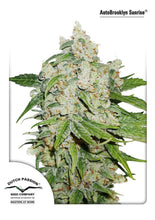 Load image into Gallery viewer, Brooklyn Sunrise - Auto Feminised Seeds