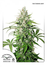 Load image into Gallery viewer, Cinderella Jack - Auto Feminised Seeds