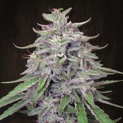 Bangi Haze - Feminized Seeds
