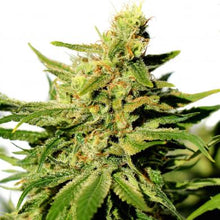 Load image into Gallery viewer, BCN Diesel CBD - CBD