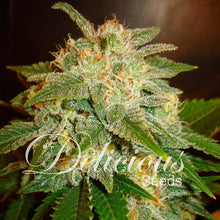 Load image into Gallery viewer, La Bella Afrodita - Autoflowering