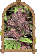 Load image into Gallery viewer, Black Haze - Autoflowering