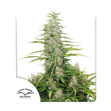 Load image into Gallery viewer, C-Vibez Feminised Seeds