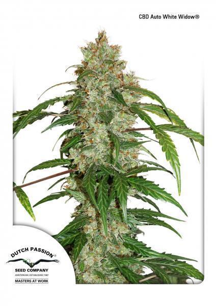 White Widow CBD - Auto Feminised Seeds