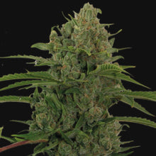 Load image into Gallery viewer, Critical Kush Auto - Autoflowering