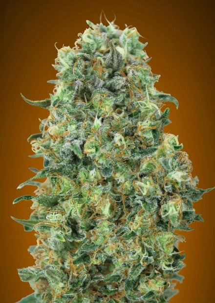 Critical Mass - Feminised Seeds