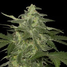 Load image into Gallery viewer, Diesel Matic - Black Skull Seeds