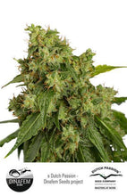 Load image into Gallery viewer, Xtreme Auto - Feminised Seeds