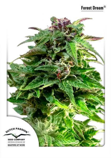 Forest Dream - Feminised Seeds
