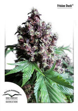 Load image into Gallery viewer, Frisian Duck - Feminised Seeds