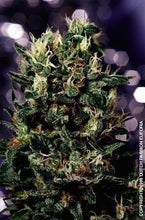 Load image into Gallery viewer, Euforia - Regular Seeds