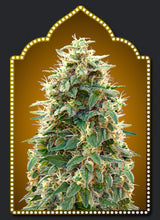 Load image into Gallery viewer, Automatic Collection #3 - Autoflowering