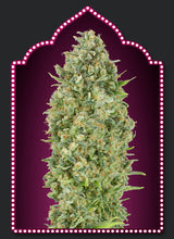 Load image into Gallery viewer, Auto Bubblegum - Autoflowering