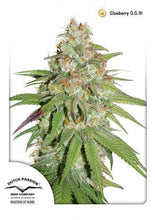 Load image into Gallery viewer, Glueberry O.G. - Auto Feminised Seeds