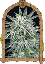 Load image into Gallery viewer, Green Gummy Auto - Autoflowering