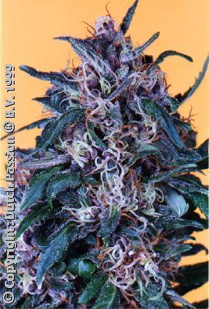 Hollands Hope - Regular Seeds
