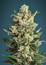 Load image into Gallery viewer, Ice Kush - Feminised Seeds