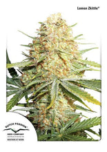 Load image into Gallery viewer, Lemon Zkittle - Auto Feminised Seeds
