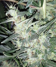 Load image into Gallery viewer, Moroccan Beldia Kif - Feminized Seeds