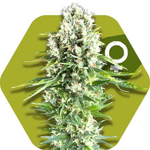 Load image into Gallery viewer, Northern Lights XL - Feminised Seeds