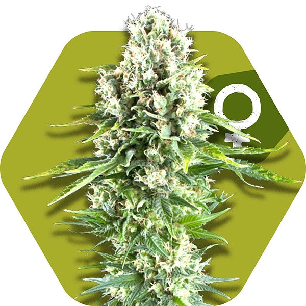 Northern Lights XL - Feminised Seeds
