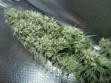 Load image into Gallery viewer, Orient Express - Regular Seeds