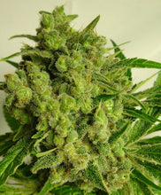 Load image into Gallery viewer, PCK x Kali China - Feminized Seeds