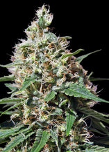 Load image into Gallery viewer, Peppermint Kush - Feminsied