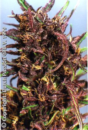 Purple #1 - Feminised Seeds