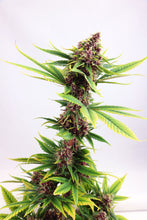 Load image into Gallery viewer, Purple Kush - Feminised
