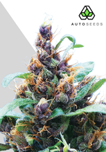 Load image into Gallery viewer, Purple Stilton - Auto Feminised Seeds (Previously Purple Cheese)