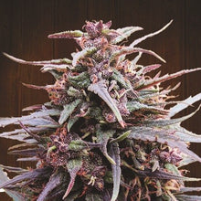 Load image into Gallery viewer, Purple Haze x Malawi- Feminized Seeds