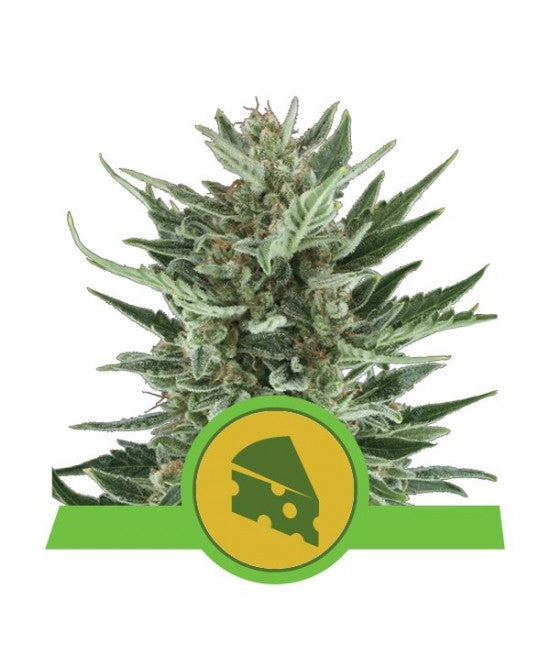 Royal Bluematic - Autoflowering Feminised Seeds