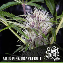 Load image into Gallery viewer, Pink Grapefruit - Short Stuff Seeds-Autoflowering Feminised