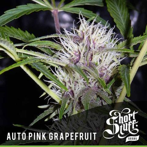Pink Grapefruit - Short Stuff Seeds-Autoflowering Feminised