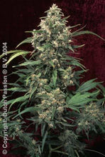 Load image into Gallery viewer, Strawberry Cough - Feminised Seeds