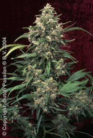 Strawberry Cough - Feminised Seeds