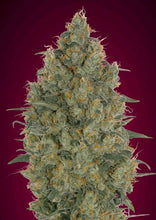 Load image into Gallery viewer, Strawberry Gum - Feminised Seeds