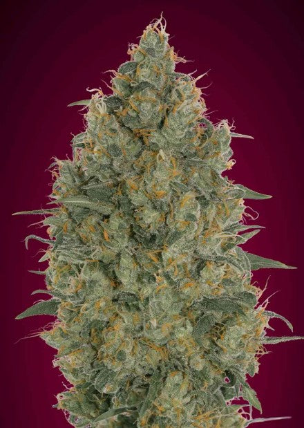 Strawberry Gum - Feminised Seeds