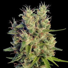 Load image into Gallery viewer, Super Malawi Haze - Regular Seeds
